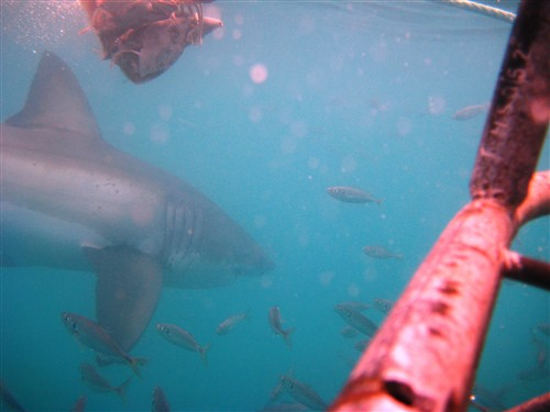 060 View of a Great White shark grazing the bait with the cage in the foreground.jpg