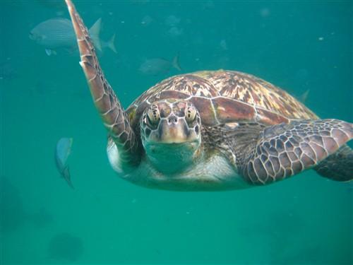 164 Green Sea Turtle.jpg