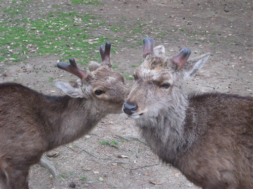 089 Nuzzling deer in Nara.jpg