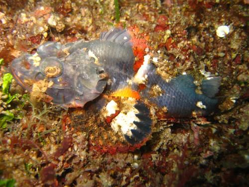 041 Bandtail Scorpionfish.jpg