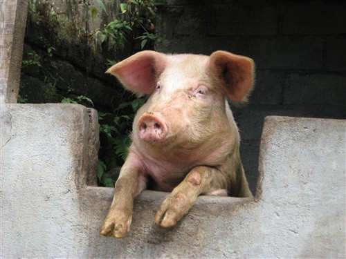 051 This little piggy wants to get the heck outta here.jpg