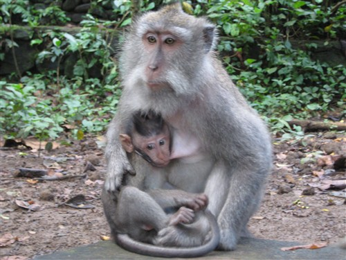 110 Long-tailed Balinese macaques.jpg