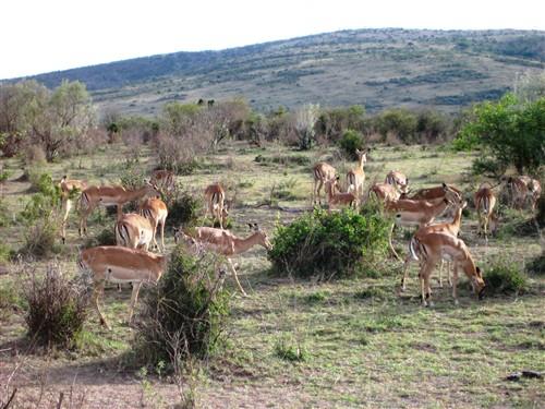 053 Grazing Impalas.jpg