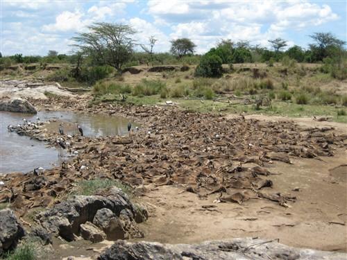 086 Wildebeest carcasses.jpg