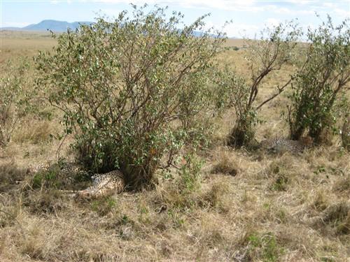 097 Camouflaged cheetahs.jpg