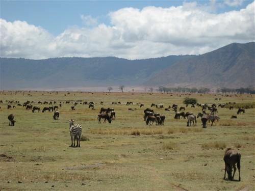 041 Wildebeests & Zebras.jpg